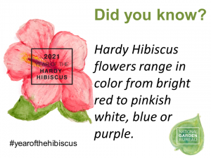 Hardy Hibiscus flowers range in color from bright red to pinkish white, blue or purple
