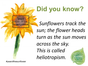 Sunflowers track the sun; the flower heads turn as the sun moves across the sky. This is called heliotropism - Year of the Sunflower - National Garden Bureau