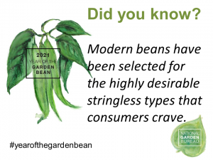 Modern beans have been selected for the highly desirable stringless types that consumers crave. - Year of the Garden Bean - National Garden Bureau