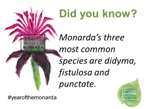 Monarda's three most common species are didyma, fistulosa and punctate - Year of the Monarda - National Garden Bureau