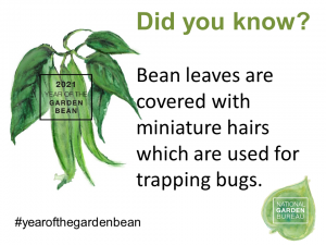 Bean leaves are covered with miniature hairs which are used for trapping bugs - year of the garden bean - National Garden Bureau
