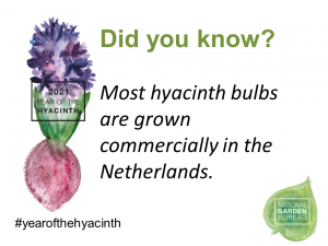 Most hyacinth bulbs are grown commercially in the Netherlands - Year of the Hyacinth - National Garden Bureau