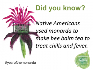 Native Americans used monarda to make bee balm tea to treat chills and fever - Year of the Monarda - National Garden Bureau
