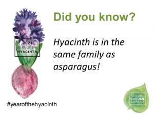 Hyacinth is in the same family as asparagus - year of the hyacinth - National Garden Bureau