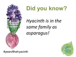 Hyacinth is in the same family as asparagus - year of the hyacinth - National Garden Bureau