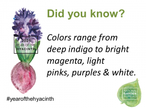 Colors range from deep indigo to bright magenta, light pinks, purples & white - Year of the Hyacinth - National Garden Bureau