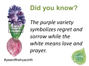 The purple variety symbolizes regret and sorrow while the white means love and prayer- Year of the Hyacinth - National Garden Bureau