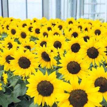 Bert Blooms from Benary - Year of the Sunflower - National Garden Bureau