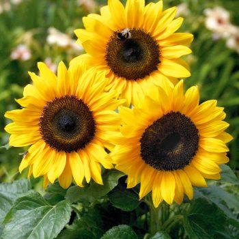 Bert from Benary - Year of the Sunflower - National Garden Bureau