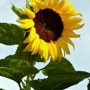 Black Russian from Seeds by Design - Year of the Sunflower - National Garden Bureau