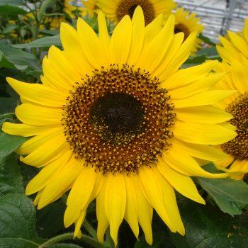 Choco Sun from Pan American Seed - Year of the Sunflower - National Garden Bureau