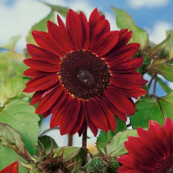 Chocolate Cherry from Seeds by Design - Year of the Sunflower - National Garden Bureau