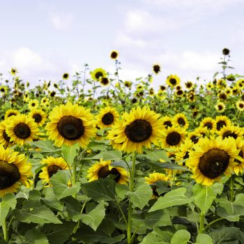 Cutting Gold from Benary - Year of the Sunflower - National Garden Bureau