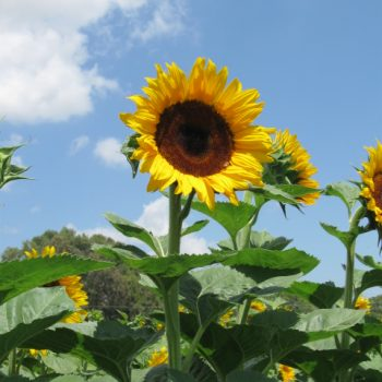 Early Black Heart from Seeds by Design - Year of the Sunflower - National Garden Bureau