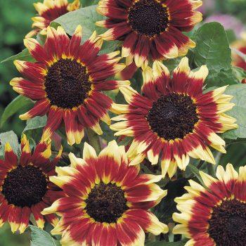Florenza from Benary - Year of the Sunflower - National Garden Bureau