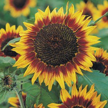 Floristan from Benary - Year of the Sunflower - National Garden Bureau