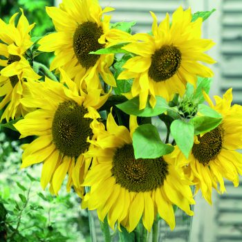 Giant Grey Striped from Seeds by Design - Year of the Sunflower - National Garden Bureau
