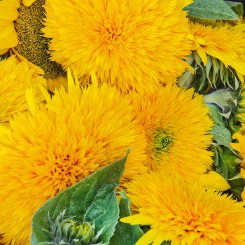 Giant Teddy Bear from Seeds by Design - Year of the Sunflower - National Garden Bureau