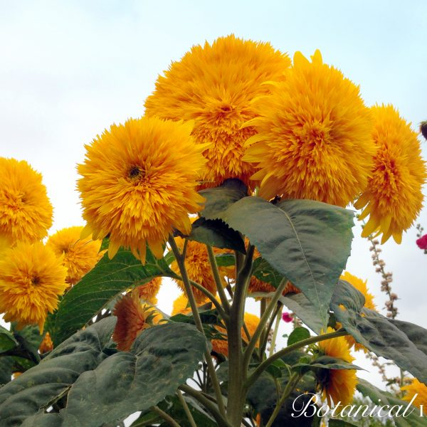 Goldy Honey from Botanical Interests - Year of the Sunflower - National Garden Bureau