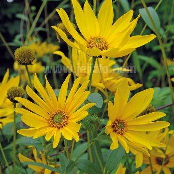 Maximiliani from Jelitto - Year of the Sunflower - National Garden Bureau