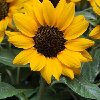 Miss Sunshine from Pan American Seed - Year of the Sunflower - National Garden Bureau