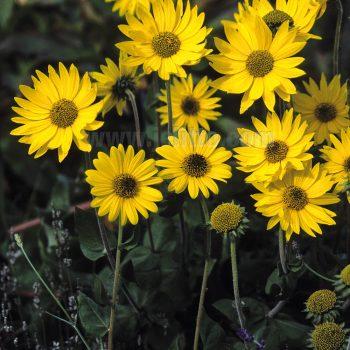 Mollis from Jelitto - Year of the Sunflower - National Garden Bureau