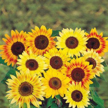 Music Box Blooms from Benary - Year of the Sunflower - National Garden Bureau