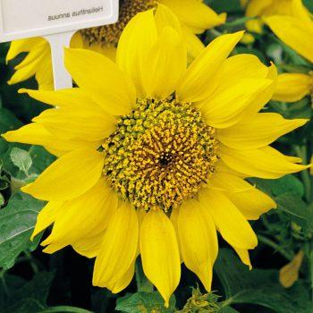 Pacino Gold from Benary - Year of the Sunflower - National Garden Bureau