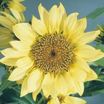 Pacino Lemon from Benary - Year of the Sunflower - National Garden Bureau