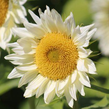 Pro Cut White Lite from Garden Trends - Year of the Sunflower - National Garden Bureau