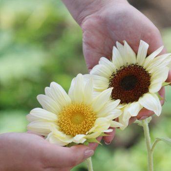 Pro Cut White Nite Lite from Garden Trends - Year of the Sunflower - National Garden Bureau