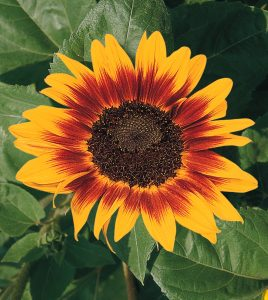 Ring of Fire from All America Selections - Year of the Sunflower - National Garden Bureau