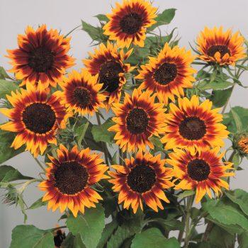 Ring of Fire from Garden Trends - Year of the Sunflower - National Garden Bureau