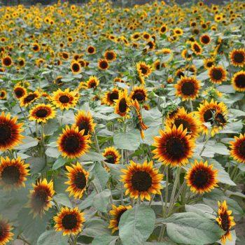 Ring of Fire from Benary - Year of the Sunflower - National Garden Bureau