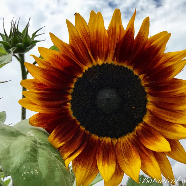 Shock O Lat from Botanical Interests - Year of the Sunflower - National Garden Bureau