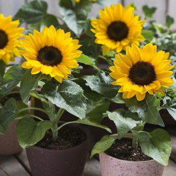 Smiley from Garden Trends - Year of the Sunflower - National Garden Bureau