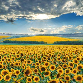 Solara from Benary - Year of the Sunflower - National Garden Bureau