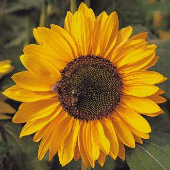 Solara Blooms from Benary - Year of the Sunflower - National Garden Bureau