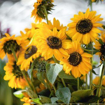 Sonja from Benary - Year of the Sunflower - National Garden Bureau