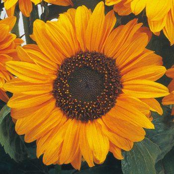 Soray from Benary - Year of the Sunflower - National Garden Bureau