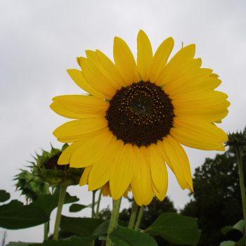 Soraya from All America Selections - Year of the Sunflower - National Garden Bureau