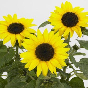 Sun Buzz from Pan American Seed - Year of the Sunflower - National Garden Bureau