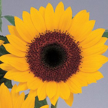 Sunbright from Sakata - Year of the Sunflower - National Garden Bureau