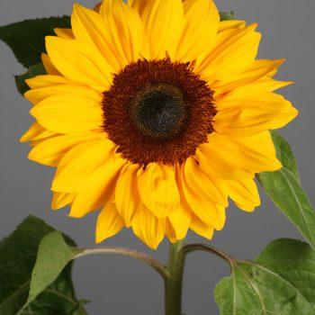 Subright from Sakata - Year of the Sunflower - National Garden Bureau