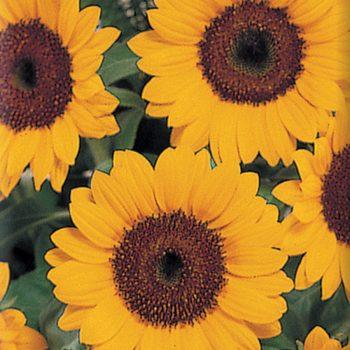 Sunbright Supreme from Sakata - Year of the Sunflower - National Garden Bureau