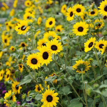 Suncredible from Proven Winners - Year of the Sunflower - National Garden Bureau