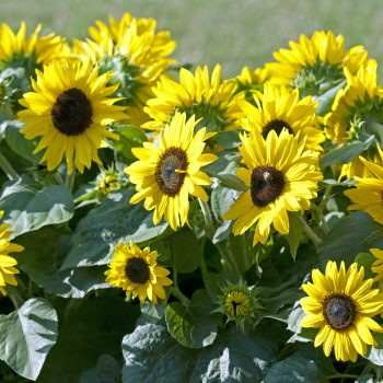 Suntastic from All-America Selections - Year of the Sunflower - National Garden Bureau