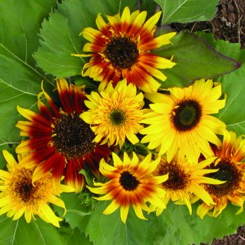 The Joker from Territorial Seed Company - Year of the Sunflower - National Garden Bureau