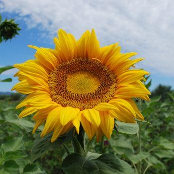 Titan from Garden Trends - Year of the Sunflower - National Garden Bureau