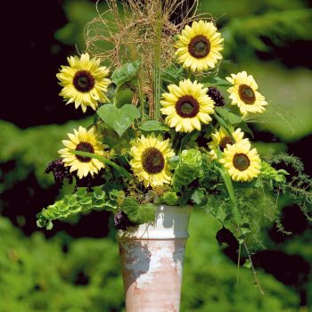Valentine from Benary - Year of the Sunflower - National Garden Bureau